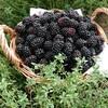 冷凍ブラックベリー販売します@新潟EMBC複合発酵バイオで栽培する健康農産物