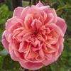 この時期はバラの花が長く楽しめます