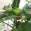 トマトがほんのり赤い