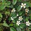 春、カマツカコケモモが開花する