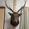 自宅に鹿の剥製を買ったらとんでもないことになった!!鹿のトロフィー設置の注意点や害虫駆除対策