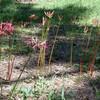 実がなるヒガンバナの開花、2018年は涼しかった2014年と同じ8月22日