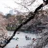 千鳥ヶ淵緑道は7~8分咲いてます&今日から桜ライトアップ 3月27日の開花情報