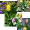 春に欠かせない花チューリップ.今年も楽しませてもらいます.花言葉  red tulip は declaration of love(愛情の宣言),  yellow tulip は hopeless love(見込みのない愛),語源はターバンから! / バブルはいつの時代にも起こるものですが---チューリップバブルには驚きますね