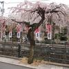 芸妓見番前の枝垂桜