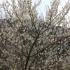 梅か?桜か?