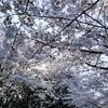 新緑まではまだ桜