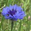 道端や土手に咲いている花の名前。土手一面の青い花はヤグルマギクだった。