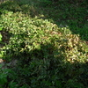 落花生を収穫しました