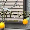 【ゆるクラ】レモンの苗木を育てる〜