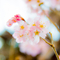 庭の咲き祝う早桜 一足先の春の訪れ