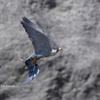 2020年3月6日の鳥撮り(2/4)-神奈川県鎌倉市