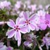 東藻琴芝桜公園2019 人気の芝桜まつり!見ごろはいつ?