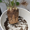 ザミオクルカスの鉢植え替えをしたが根詰まりしていて大変だった話(Zamioculcas・ZZ Plant)