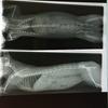 【胴体長い!】うさぎ(ネザーランド・ドワーフ)のレントゲン写真