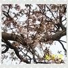 おばちゃん地方の桜 Version2