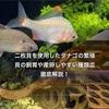 二枚貝を使用したタナゴの繁殖!貝の飼育・産卵・餌・種類等徹底解説