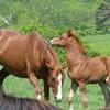 【ねぇ知ってる?】仔馬の英語はポニーじゃないよ!兼業農家をしていると動物単語に詳しくなりました。
