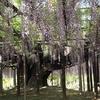 夢と共に咲く大樹のwisteria ~あしかがフラワーパーク~