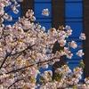 「桜並木」7種類の八重桜(前編)