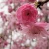 しだれ桜Ⅱ