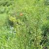 ノヒメユリ   お盆のころ咲くとっても小さなユリ
