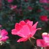 11月の薔薇たち