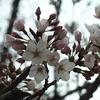 2021年4月3日までに撮影したデジイチとコンデジ写真。ソメイヨシノの花が終わりに近づき何とフジが咲いていました