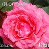香りの薔薇の面目躍如 芳純 2011/05/04