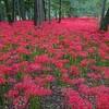 埼玉県日高市巾着田曼珠沙華公園に行って来ました。