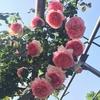 近くのバラ園で今盛りのバラの花を楽しみ、幸せな気持ちを味わおう!