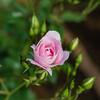 足立区の隠れたバラの名所「ベルモント公園」でバラを愛でる