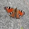 クワガタネタ切れなので蝶