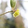 クロモジ(黒文字)の花 Lindera umbellata