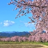 安行寒桜 (その4)北浅羽桜堤公園