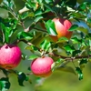 【スマート農業】 リンゴもぎ機が青森を変える?