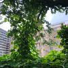 JR川崎駅近くの桜並木を、今年も襲う葛の蔓。去年の行動は実らず。