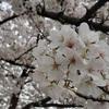 春も終わりの隅田川界隈と春なのでアサリ焼きそば。