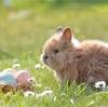 【採卵周期】採卵日 D13前日&D14当日、採卵結果