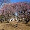 小金井公園の梅が見ごろです