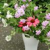 エキナセアの花が次々と!アナベルのツボミ発見!!ローズゼラニウムにランタナも♪