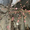 紅梅@好文画廊さん:梅の花が咲きました!