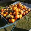 豊作の渋柿のおすそわけ・初挑戦の樽柿と柿酢