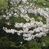 桜 ひら~