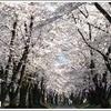 東京から1時間半で行けちゃう桜の名所 赤城南面千本桜祭りへ行こう