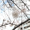 古今和歌集「世の中に絶えて桜のなかりせば・・・」の気持ちがわかってきたかも
