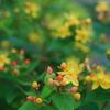 ヒペリカムの黄色い花と赤い実2(秋田県秋田市)