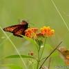 ベリーズ 花と蝶
