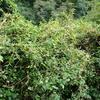 寄生植物ネナシカズラの不思議