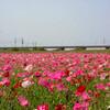 3000万本という日本一のポピー畑とやらを見てきたよー【埼玉県鴻巣市】